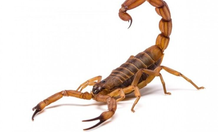 Picadas de escorpião ultrapassam 200 casos no município; 15 só em crianças