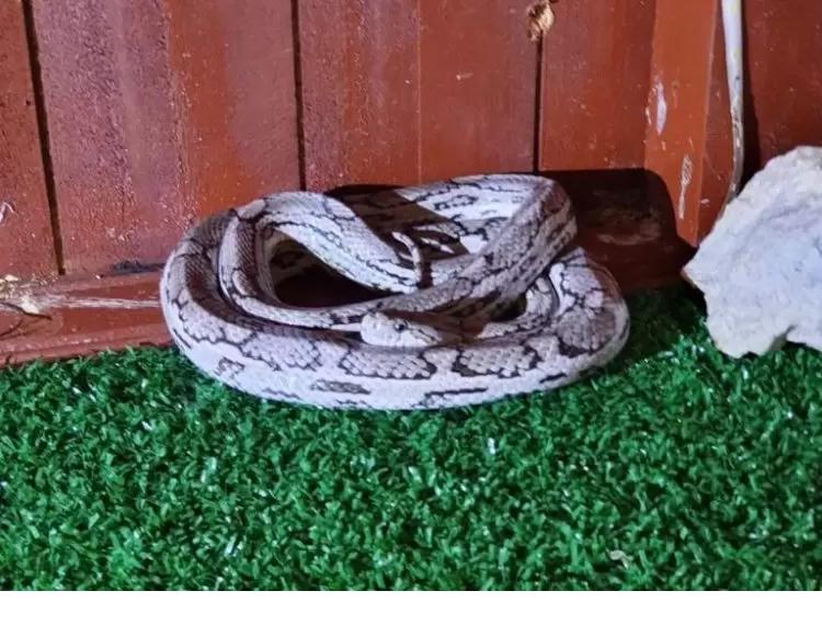 PM Ambiental apreende 10 cobras na casa de criador em Mirandópolis